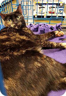 Domestic Shorthair Cat for adoption in Arcadia, California - Sophie