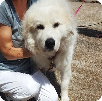 Great Pyrenees Mix Dog for adoption in Kyle, Texas - Whisper