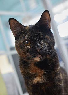 Domestic Shorthair Cat for adoption in Los Angeles, California - Pearlie