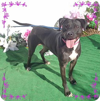 Labrador Retriever Mix Dog for adoption in Marietta, Georgia - STELLA - adopted @ off-site