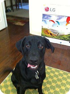 Labrador Retriever Mix Dog for adoption in Flushing, Michigan - Buddy