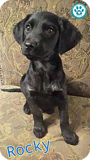 Spaniel (Unknown Type) Mix Puppy for adoption in Kimberton, Pennsylvania - Rocky