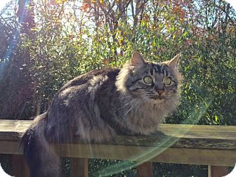 Domestic Mediumhair Cat for adoption in Bentonville, Arkansas - Tilde