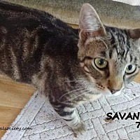 Adopt A Pet :: Savannah - Spring, TX