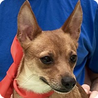 Adopt A Pet :: Cinnamon - Evansville, IN