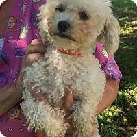 Adopt A Pet :: Velma - Washington, DC