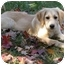 Photo 3 - Golden Retriever/Labrador Retriever Mix Puppy for adoption in Hamburg, Pennsylvania - Julep