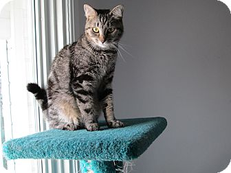 Domestic Shorthair Cat for adoption in Jeffersonville, Indiana - Maggie