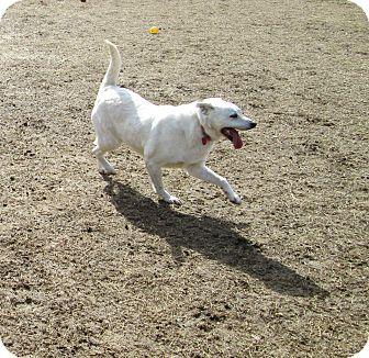 Cattle Dog Mix Dog for adoption in Starkville, Mississippi - Snowball
