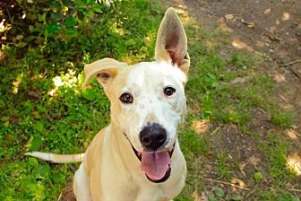 Pit Bull Terrier Dog for adoption in Rossville, Tennessee - Arrow
