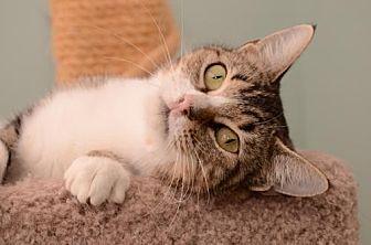 Domestic Shorthair Cat for adoption in Baton Rouge, Louisiana - Shania