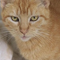 Domestic Shorthair Cat for adoption in Hammond, Louisiana - Trixie