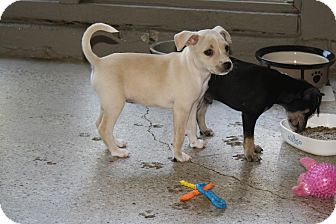 Chihuahua Mix Puppy for adoption in Dallas, Texas - Bambi - Puppy - Coming Soon