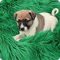 Adopt A Pet :: Bodhi - Groton, MA
