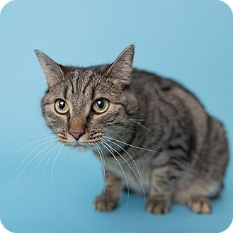 Domestic Shorthair Cat for adoption in Wilmington, Delaware - Princess Yasmine