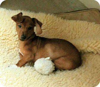 Dachshund Mix Puppy for adoption in Concord, North Carolina - Bella