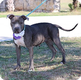 American Staffordshire Terrier Mix Dog for adoption in Pluckemin, New Jersey - Cheryl