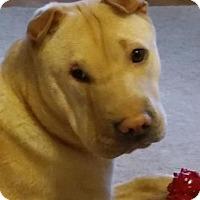 Adopt A Pet :: Sheeba - Barnegat Light, NJ