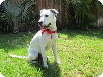 Dalmatian/Labrador Retriever Mix Dog for adoption in Tampa, Florida - Ziggy