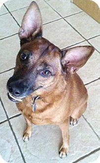 Miniature Pinscher/German Pinscher Mix Dog for adoption in Gilbert, Arizona - Mavrick