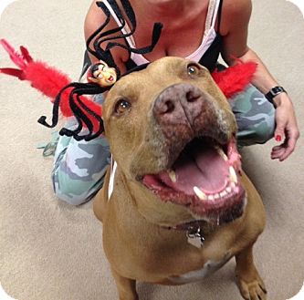 American Staffordshire Terrier/American Pit Bull Terrier Mix Dog for adoption in Studio City, California - CHOPPERS