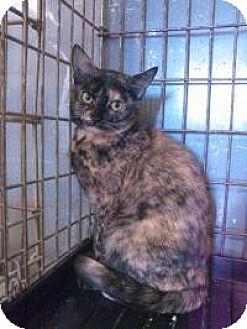Domestic Shorthair Cat for adoption in Ringwood, Illinois - Vixen