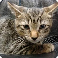 Domestic Shorthair Cat for adoption in Miami, Florida - Jackson