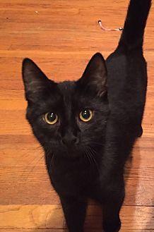 Domestic Shorthair Kitten for adoption in Woodland Hills, California - Chili
