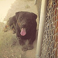 American Pit Bull Terrier/Rottweiler Mix Dog for adoption in Nuevo, California - Boozer