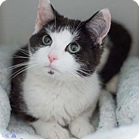 Adopt A Pet :: Sweetie Pie - Merrifield, VA