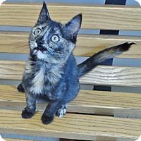 Adopt A Pet :: Pinto - Chambersburg, PA