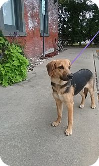 Beagle/Shepherd (Unknown Type) Mix Dog for adoption in Shelter Island, New York - Reign