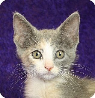 Domestic Shorthair Kitten for adoption in Jackson, Michigan - Olisa