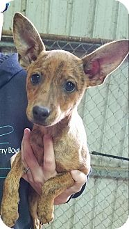 Chihuahua Mix Puppy for adoption in Macomb, Illinois - Misty