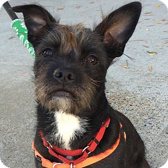 Cairn Terrier Mix Dog for adoption in CUMMING, Georgia - Nancy