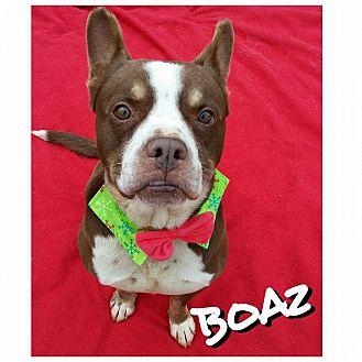 American Staffordshire Terrier Mix Dog for adoption in Charlotte, North Carolina - Boaz