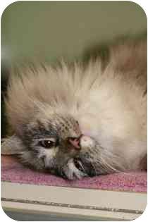 Siamese Cat for adoption in Marietta, Georgia - Tripp