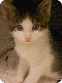 Domestic Shorthair Kitten for adoption in Maywood, New Jersey - Noodles