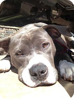 English Bulldog/American Pit Bull Terrier Mix Dog for adoption in San Diego, California - Belle