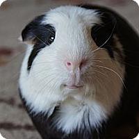 Adopt A Pet :: Panda - Brooklyn Park, MN