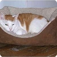 Adopt A Pet :: Sweet Pumpkin - New York, NY