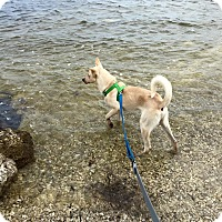 Adopt A Pet :: Chase (fostered in FL) - Cranston, RI