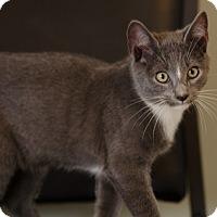 Domestic Shorthair Cat for adoption in Seneca, South Carolina - Sloan $75