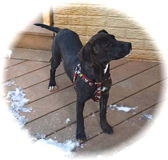 Labrador Retriever/Staffordshire Bull Terrier Mix Dog for adoption in Ijamsville, Maryland - Layla