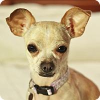 Adopt A Pet :: Coco - Romeoville, IL