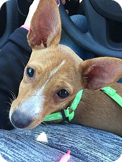 Chihuahua Mix Puppy for adoption in Vandalia, Illinois - Fiona