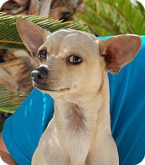Chihuahua Mix Dog for adoption in Las Vegas, Nevada - Derek