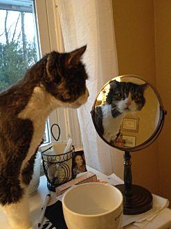 Domestic Longhair Cat for adoption in Plainville, Massachusetts - Dakota
