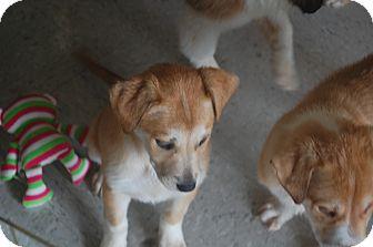 Husky/St. Bernard Mix Puppy for adoption in Hainesville, Illinois - Austin