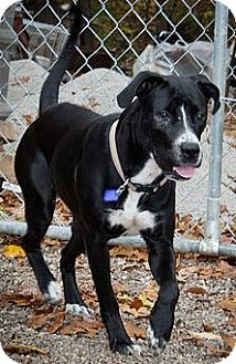 Labrador Retriever/American Pit Bull Terrier Mix Dog for adoption in Perryville, Missouri - Daisy